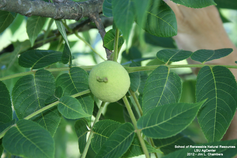 Louisiana Plant Id Juglans Nigra Black Walnut