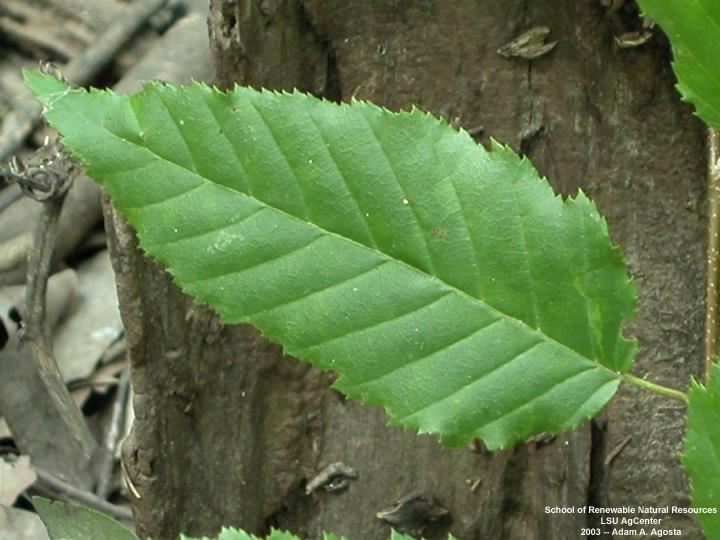 Louisiana Plant Id Carpinus Caroliniana Bluebeech