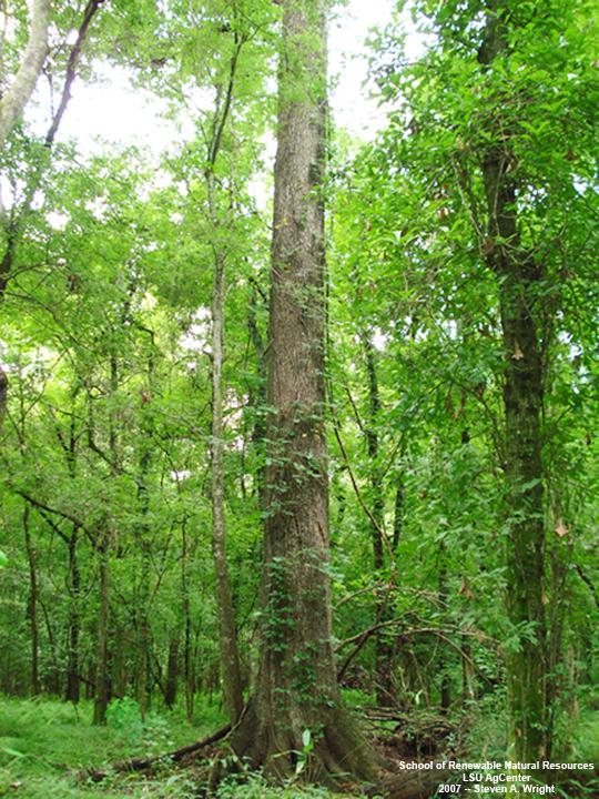 Louisiana plant id quercus pagoda cherrybark oak