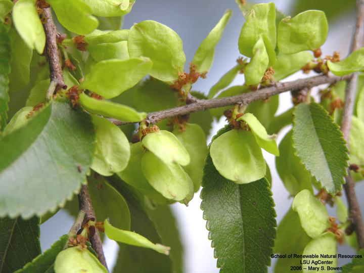 Louisiana Plant Id Ulmus Parvifolia Chinese Elm