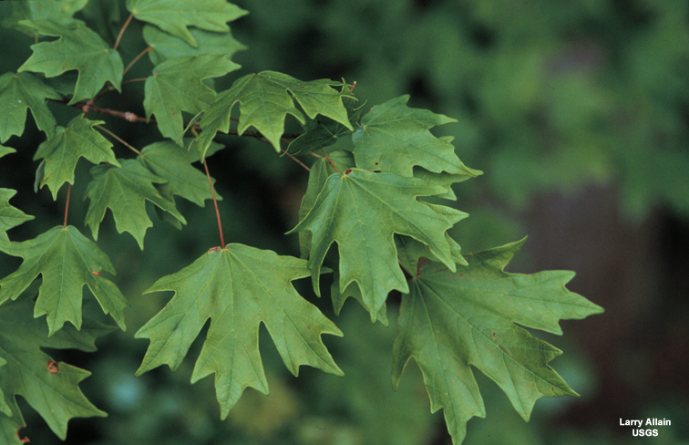 Louisiana Plant Id Acer Barbatum Florida Maple