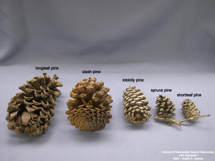 5+Seeds Longleaf Pine Tree Seeds Pinus palustris