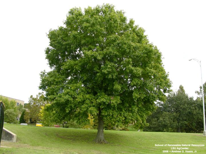 Louisiana Plant ID | Quercus texana (Nuttall oak)