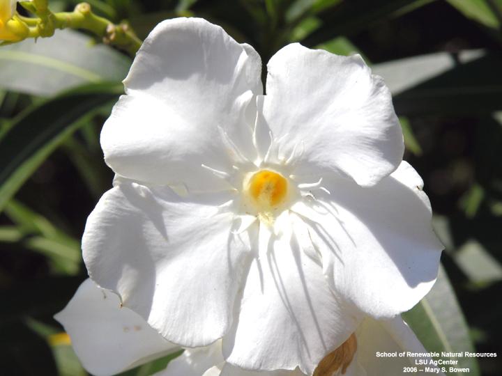 Louisiana Plant Id Nerium Oleander Oleander