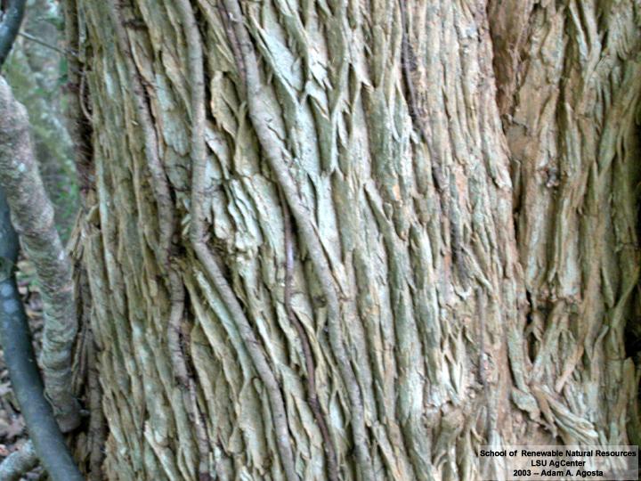 Louisiana Plant ...Ornamental Trees For Oklahoma