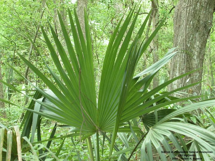 louisiana plant id sabal minor palmetto