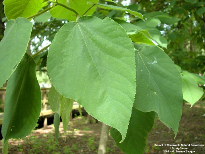 louisiana plant id