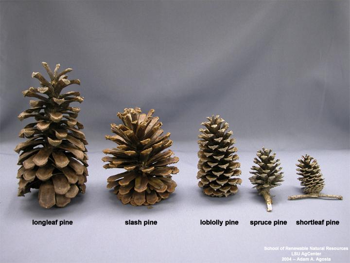 Louisiana plant id pinus elliottii slash pine for Long pine cones