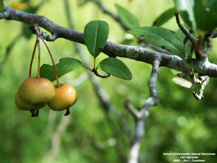 Louisiana Plant Id Malus Angustifolia Southern Crab Apple
