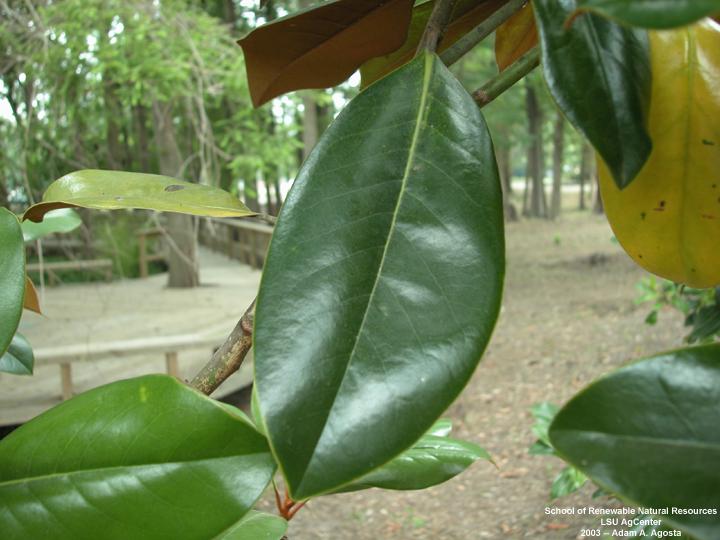 Louisiana Plant Id Magnolia Grandiflora Southern Magnolia