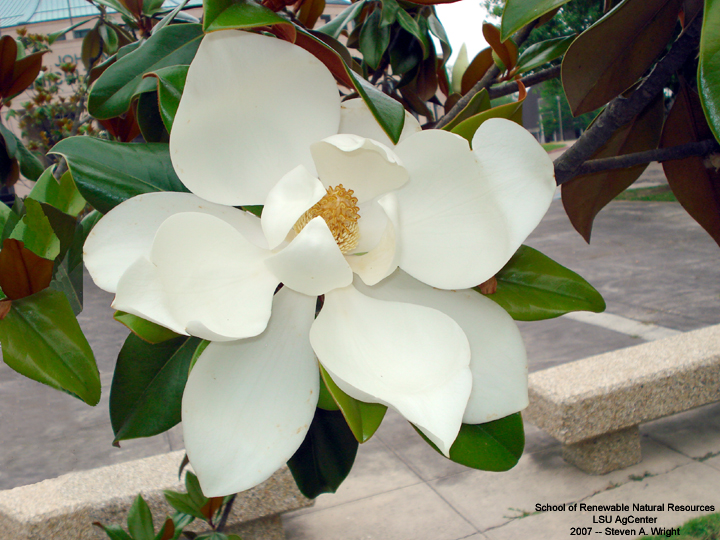 Magnolia - Louisiana State Flower