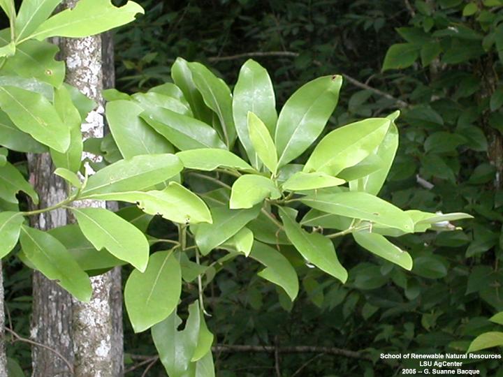 Sweet Bay Tree Bark