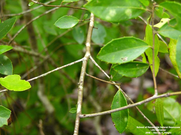 Louisiana Plant Id Ilex Coriacea Sweet Gallberry
