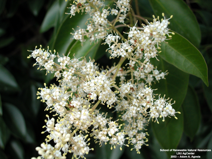 Louisiana Plant Id Ligustrum Lucidum Tree Ligustrum