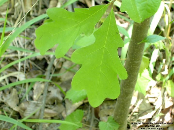 Louisiana plant id quercus alba white oak