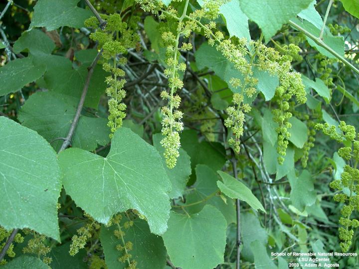 Wild Dill Plant Wild Grape Plant